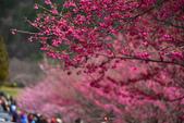 2015.02.07_武陵櫻花季-B:2015.02.07_武陵櫻花季0054.jpg