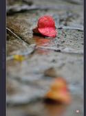 2013.10.24_雨中的欒樹:2013.10.24_雨中欒樹-0001.jpg