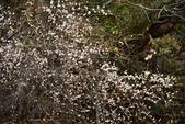 2015.02.07_武陵櫻花季-B:2015.02.07_武陵櫻花季0053.jpg