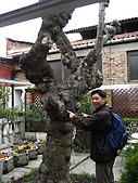 蜜月旅行之 托斯卡納的豔陽下97/04/13:這棵樹有一百年嘍