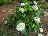 花卉:繡球花
