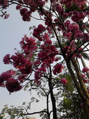 花卉:粉紅風鈴木 (3).jpg