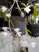 花卉:瀑布蘭