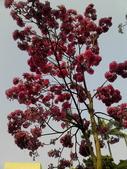花卉:粉紅風鈴木 (1).jpg