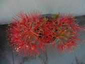 花卉:火球花
