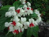 花卉:龍吐珠