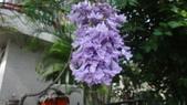 花卉:藍花楹1.jpg