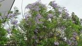 花卉:藍花楹2.jpg