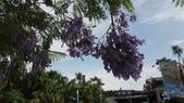 花卉:藍花楹 (3).jpg