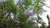 花卉:藍花楹(4).jpg
