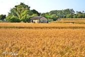台中大雅小麥:3.jpg