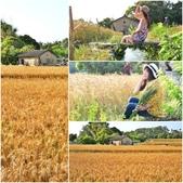 台中大雅小麥:0.jpg