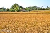 台中大雅小麥:4.jpg