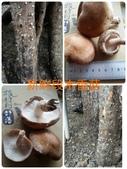 美莉的有機轉型期農場-有機轉型的證明書:05香菇.jpg