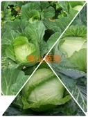 美莉的有機轉型期農場-有機轉型的證明書:01高麗菜.jpg