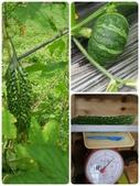 美莉的有機轉型期農場-有機轉型的證明書:02瓜菜.jpg