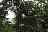 99年油桐花季:1512103561.jpg