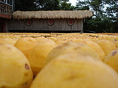 新竹海岸線&吃道地美食:這叫碩大便是美嗎??