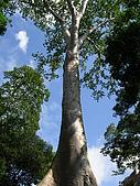 吳哥窟之旅(2005.09.21):仰望藍天與巨木