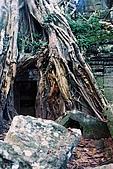 吳哥窟之旅(2005.09.21):大自然無堅不摧