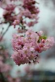 恩愛農場賞櫻:2017-03-18_0010.jpg
