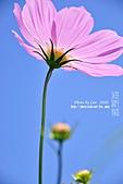 新竹波斯菊2010/10/31:新竹寶山花海_007.jpg