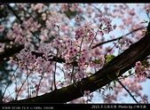 2015 天元宮花見:20150318010.jpg