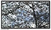 080327 上野恩賜公園 櫻花直擊:CIMG6093.jpg