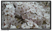 080327 上野恩賜公園 櫻花直擊:CIMG6370.jpg
