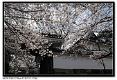 080329 東京櫻花盛開了:DSC_1525.jpg