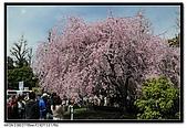 080329 東京櫻花盛開了:DSC_1575.jpg
