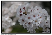 080329 東京櫻花盛開了:DSC_1599.jpg