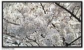 080327 上野恩賜公園 櫻花直擊:CIMG6045.jpg
