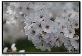 080329 東京櫻花盛開了:DSC_1601.jpg