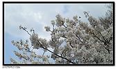 080327 上野恩賜公園 櫻花直擊:CIMG6051.jpg
