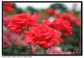 080607 京成玫瑰園:DSC_2721.jpg