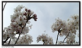 080327 上野恩賜公園 櫻花直擊:CIMG6061.jpg