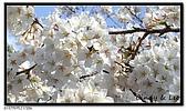 080327 上野恩賜公園 櫻花直擊:CIMG6186.jpg
