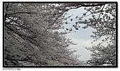 080327 上野恩賜公園 櫻花直擊:CIMG6071.jpg