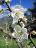 緋紅 櫻花:IMG_1760.JPG