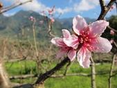 緋紅 櫻花:IMG_1773.JPG