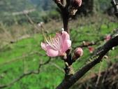 緋紅 櫻花:IMG_1792.JPG