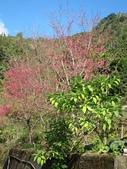 緋紅 櫻花:IMG_1795.JPG