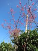 緋紅 櫻花:IMG_1719.JPG