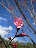 緋紅 櫻花:IMG_1733.JPG