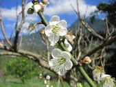 緋紅 櫻花:IMG_1755.JPG