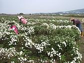 200711 銅鑼杭菊花:IMGP3977.JPG