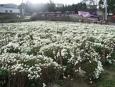 200711 銅鑼杭菊花:IMGP3996.JPG