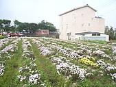 200711 銅鑼杭菊花:IMGP4007.JPG