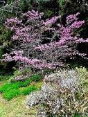 阿里山:阿里山櫻花22